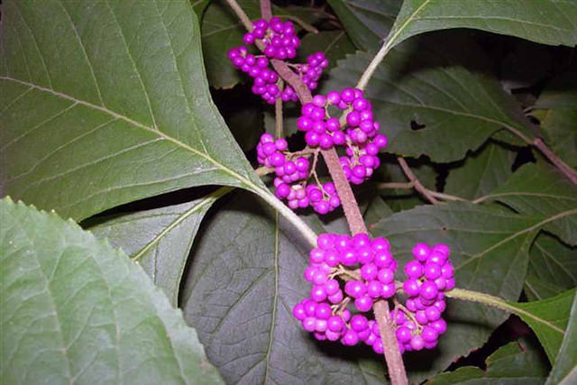 american beautyberry2